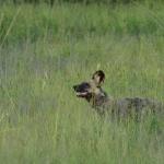 Wilddog in South Luangwa