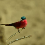 Carmine bee-eater in South Luangwa