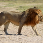 Male lion in South Luangwa