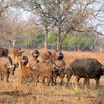 Buffalo in the dry season