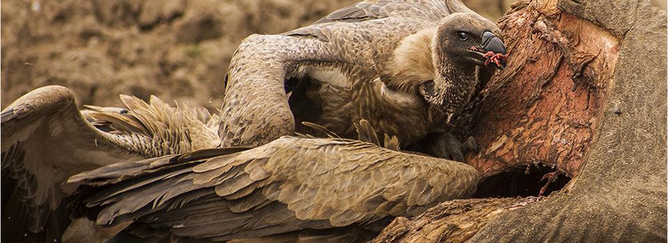 vulturee