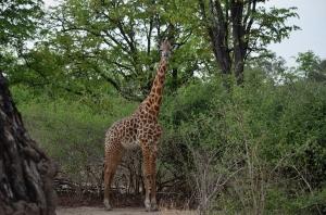 Our special giraffe.
