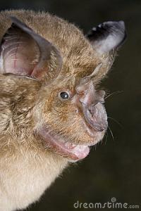 geoffroy-s-horseshoe-bat-rhinolophus-clivosus-14344957